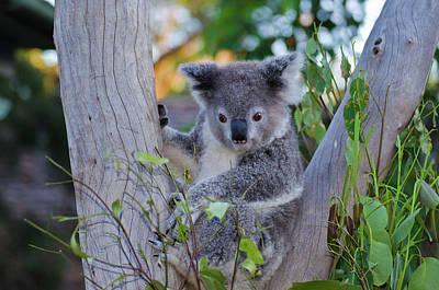 Photograph - Koala by Harry Strharsky