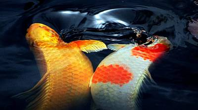 Koi Butting Heads Art Print