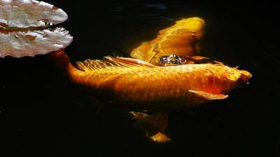 Butterfly Koi Photograph - Koi Crossing by Don Mann