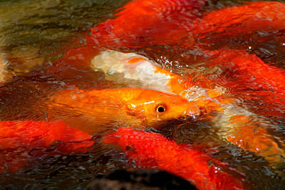 Photograph - Koi Frenzy by Elizabeth  Doran