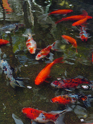 Art Print featuring the photograph Koi Klatch by Sandy Fisher