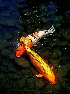 Koi Story Two C Art Print by Randall Weidner