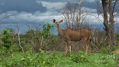Photograph - Kudu Female Posing by Mareko Marciniak