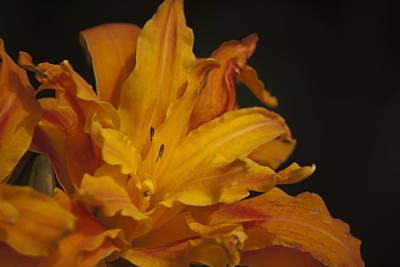 Floral Photograph - Kwanso Daylily Ruffles by Teresa Mucha