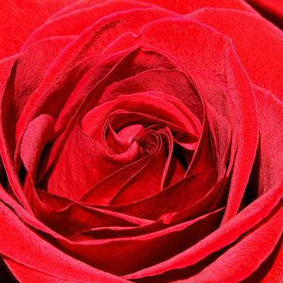 Photograph - L Amore Rosa by Karon Melillo DeVega