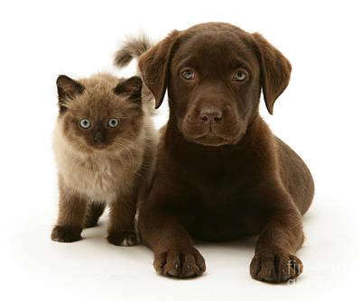 Labrador Pup And Birman-cross Kitten Art Print by Jane Burton