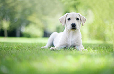 Labrador Puppy In Uk Garden Art Print by Images by Christina Kilgour