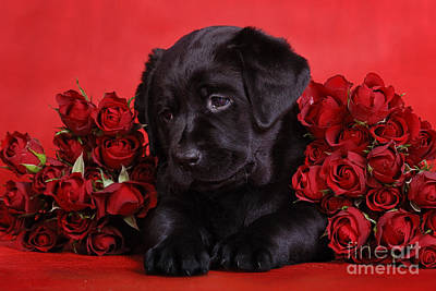 Labrador Puppy With Red Roses Art Print by Waldek Dabrowski