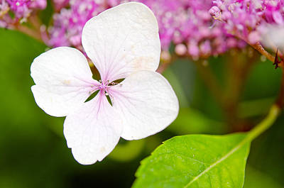 Art Print featuring the photograph Lacecap Hydrangea Petal by MaryJane Armstrong