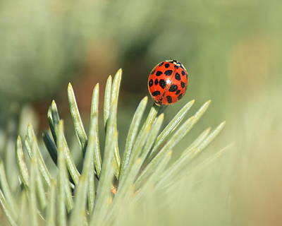 Art Print featuring the photograph Lady Beetle On A Needle by Penny Meyers