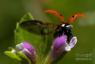 Photograph - Lady Bird Take Off by Jorgen Norgaard