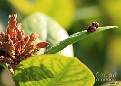 Photograph - Lady Bugs Mating by Terri Mills