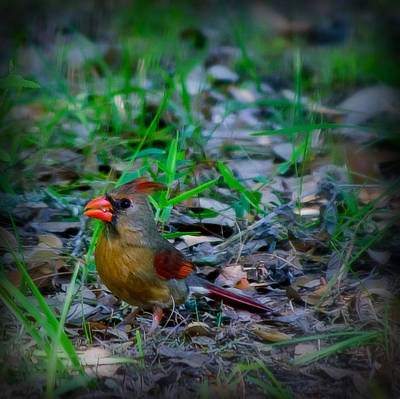 Photograph - Lady Cardinal by Laura DAddona