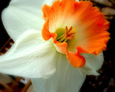 Photograph - Lady Daffodil by Cindy Wright