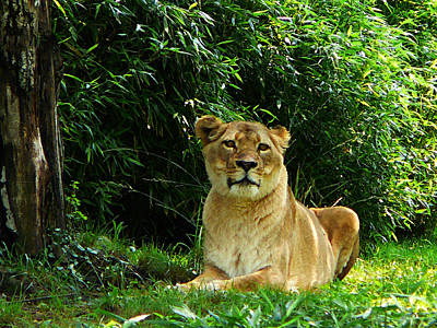 Lion Photograph - Lady Lion Relaxing by Susan Savad