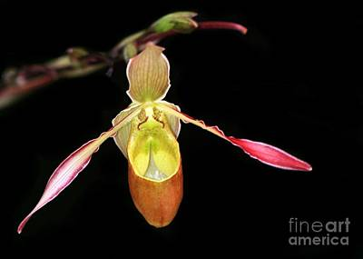 Photograph - Lady Slipper Orchid by Sabrina L Ryan