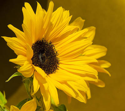 Art Print featuring the photograph Lady Sunflower by MaryJane Armstrong