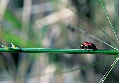 Photograph - Ladybird by Jocelyn Kahawai