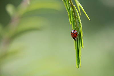 Photograph - Ladybug 3 by Pan Orsatti