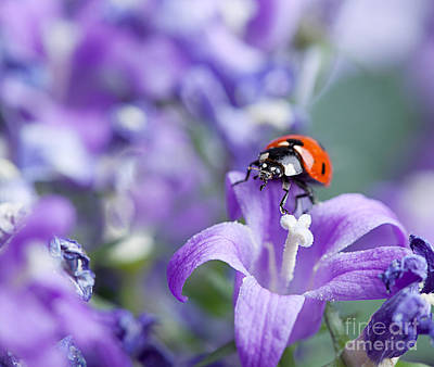 Violet Bloom Photograph - Ladybug And Bellflowers by Nailia Schwarz