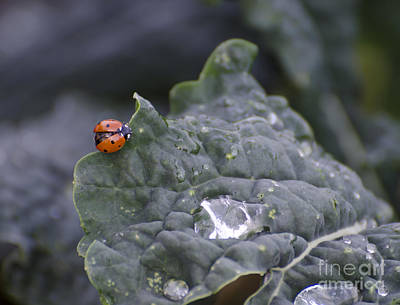 Photograph - Ladybug On Kale by Jim And Emily Bush
