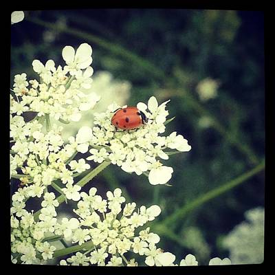 Photograph - Ladybug On Lace by Lora Mercado