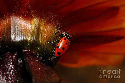Photograph - Ladybug On Orange Yellow Dahlia . 7d14677 by Wingsdomain Art and Photography