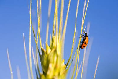 The Lady In Red Photograph - Ladybug On Wheat by Craig Tuttle