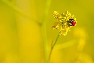 Ladybug On Yellow Flower Art Print by Hegde Photos