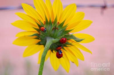 Photograph - Ladybug On Sunflowers by Anjanette Douglas
