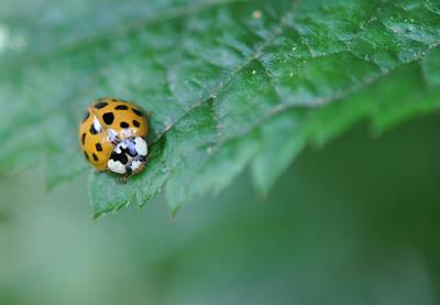 Ladybug Posing On Astilbe Leaf Art Print