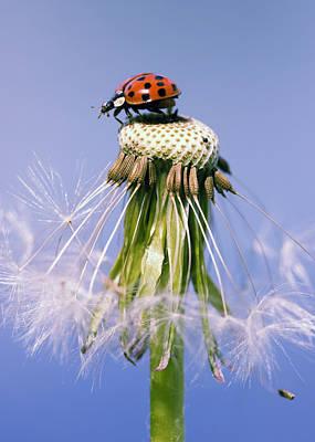 Ladybugs Dandelion Art Print by Falko Follert