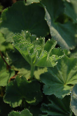 Photograph - Lady's Mantle by Guy Whiteley