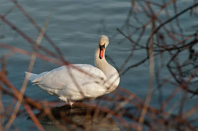 Photograph - Lake Ontario Swan by Guy Whiteley
