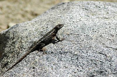 Lake Tahoe Photograph - Lake Tahoe Lizard On A Hot Rock by LeeAnn McLaneGoetz McLaneGoetzStudioLLCcom
