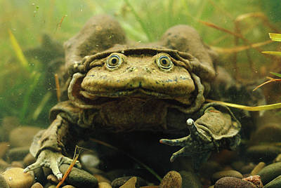 Photograph - Lake Titicaca Frog Telmatobius Culeus by Pete Oxford