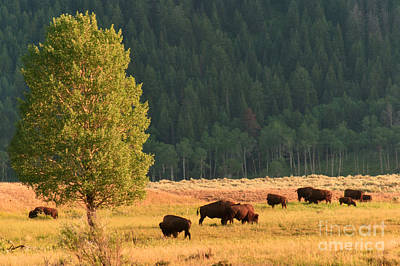 Bison Photograph - Lamar Bison In Early Evening by Charles Kozierok