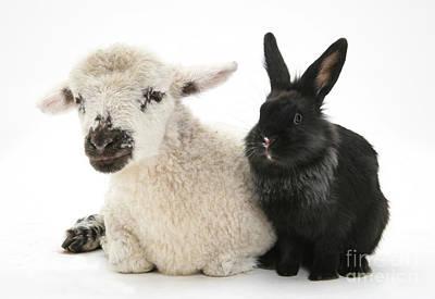Lamb And Rabbit Art Print by Mark Taylor