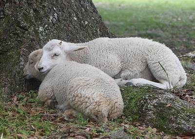 Photograph - Lamb Nap Time by Jeanne Kay Juhos