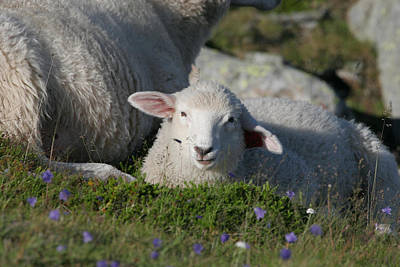 Bath Time Rights Managed Images - Lamb on blooming meadow Royalty-Free Image by Ulrich Kunst And Bettina Scheidulin