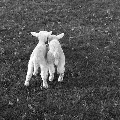 Photograph - Lambs by Michael Standen Smith