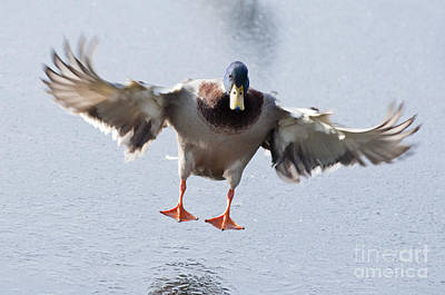 Birds Photograph - Landing On Ice by Andrew  Michael