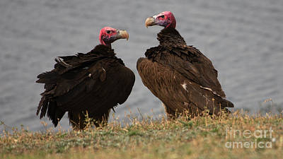 Photograph - Lappetfaced Vultures by Mareko Marciniak