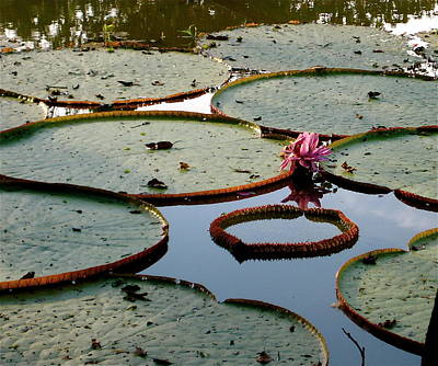 Photograph - Large Lily Pads Of The Amazon by Rebecca Wood