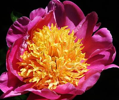 Large Pink Peony Art Print by Bruce Bley