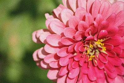 Art Print featuring the photograph Large Pink Zinnia by Donna  Smith