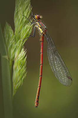 Large Red Damselfly Art Print by Andy Astbury