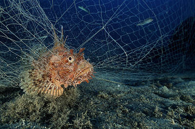 Large-scaled Scorpionfish In A Net Art Print by Alexis Rosenfeld