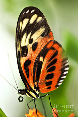 Exotic Creatures Photograph - Large Tiger Butterfly by Elena Elisseeva