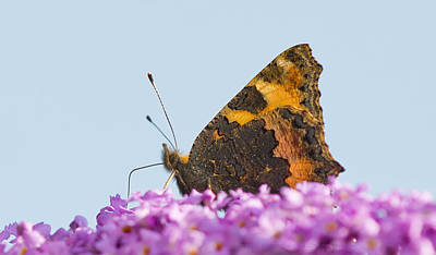 Photograph - Large Tortoiseshell  Butterfly by Steven Poulton